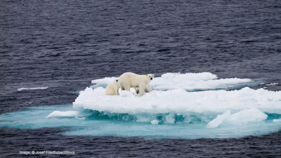 Polar bears on ice floe